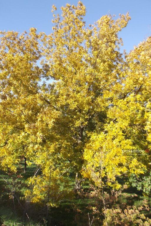 Pacanier en automne en Provence - feuilles jaunes - photo André Abbe