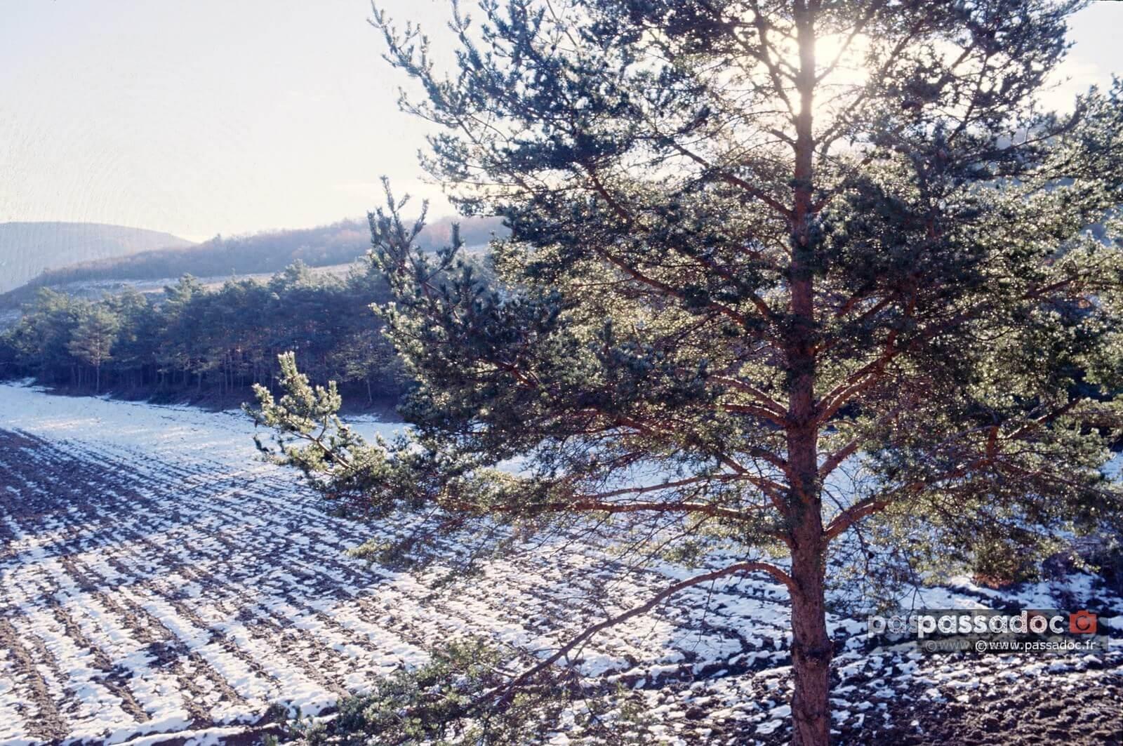 Un pin sylvestre sous la neige à Bargeme Var - photo André Abbe.jpg