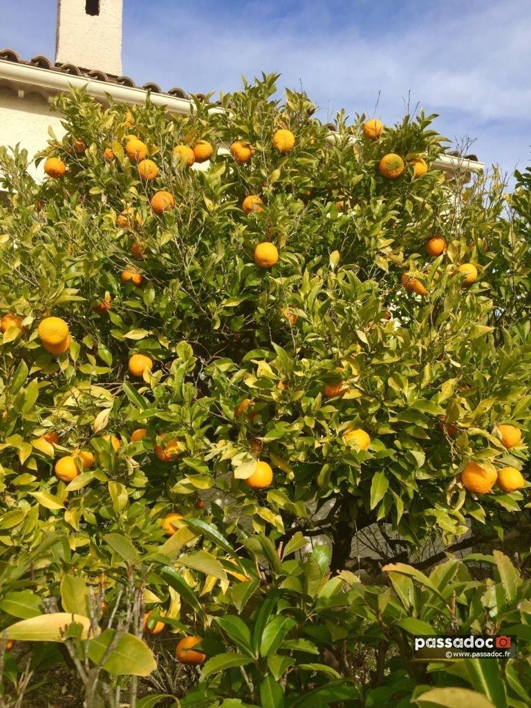 Orange amères prêtes pour la confiture - photo Marie-Josée Lombard