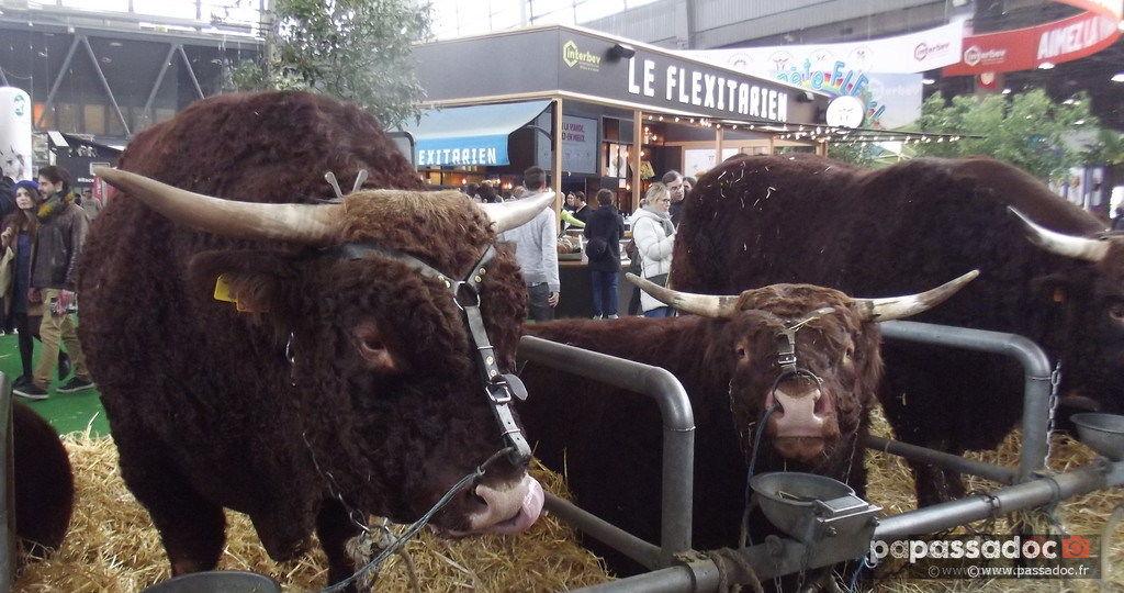 Taureaux de race Salers - Salon de l agriculture - Paris le 29 février 2020 - Photo André Abbe