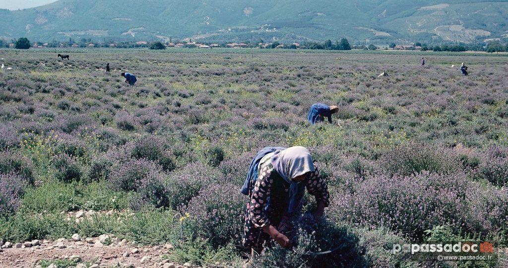 Récolte de la lavande par des femmes en Bulgarie - années 80 - photo André Abbe