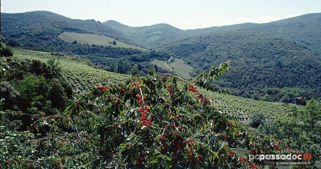 Cerise en Roussillon Occitanie - photo André Abbe